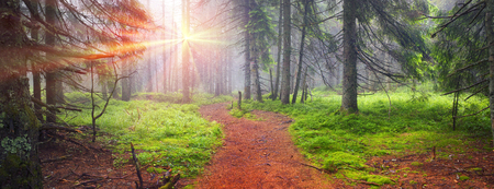 Panoramic landscape of an autumn fir forest in the rain at dawn. Deserted footpath goes into the misty distance, dew hanging on every twig and grass, melancholy and serenity in the air Фото со стока