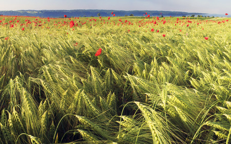 red sky: In May, June, the wheat fields of wild poppies bloom in Europe - often in fields where herbicides are not used. The combination of wild flowers and cultivated plants is very beautiful Stock Photo