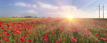 En mai, juin, dans les marges de l'Europe, fleurissent les coquelicots sauvages - souvent dans les vieux champs de blé, où les herbicides ne sont pas utilisés. L'espace panoramique rouge énorme est très beau. Carte d'Ukraine - Galich et Krylos.