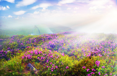 Alpine meadows in the spring, in May Chornogory decorated with bright beautiful mountain rododendronov- colors- pink, scarlet, roses and purple, rising above the forest among the rocks, moss and creeping shrubs Imagens