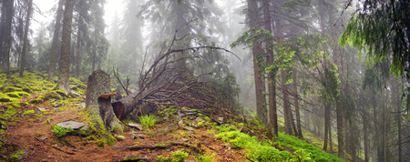 fog forest: Panoramic landscape of an autumn fir forest in the rain at dawn. Deserted footpath goes into the misty distance, dew hanging on every twig and grass, melancholy and serenity in the air Stock Photo