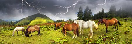 grassland: tops the Carpathian Ukraine grazing wild horses of the season in the spring of recovering on alpine pastures in autumn take. The summer they spend without protection on the loose