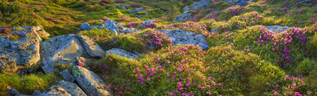 Alpine meadows in the spring, in May Chornogory decorated with bright beautiful mountain rododendronov- colors- pink, scarlet, roses and purple, rising above the forest among the rocks, moss and creeping shrubs Stock Photo