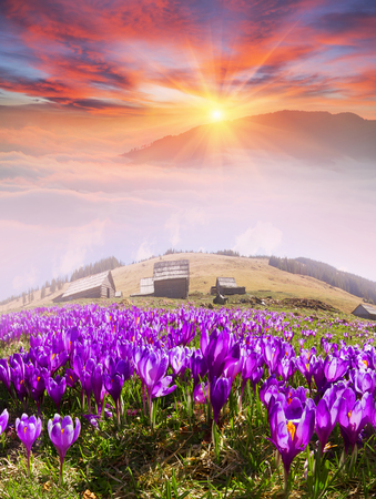 At sunrise, after a warm rain forest shrouded in mist Ukrainian spring with sunshine rays. Sea fog in the pink light is very beautiful and fairy primroses after the snow melts very beautiful Stock Photo