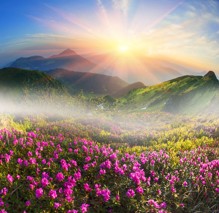 High in Ukraine - on the background of Mount Marmarosh in Transcarpathia, when the snow melts becomes warmer - in May and June the rhododendrons bloom is fantastic fantastically beautiful Stock Photo