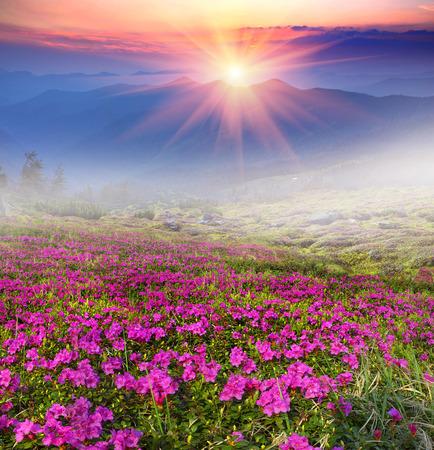 ザカルパトでマウント Marmarosh の背景にウクライナ - 高、いつ雪が溶け暖かくなる - 5 月と 6 月のシャクナゲの花は幻想的な美しさが際立ちます