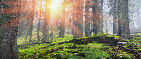 fog forest: Wild pine trees at dawn during sunrise in a beautiful alpine forest wild Carpathian Ukraine after the rain. High humidity in the foggy haze, a lot of moss and lichen the stones and rocks, no people