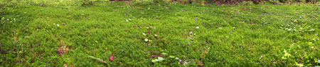 and is favorable: Wild Moss at dawn beautiful alpine forest Carpathian Ukraine after heavy rain. High humidity - is favorable to its development, the amount of green plant tender