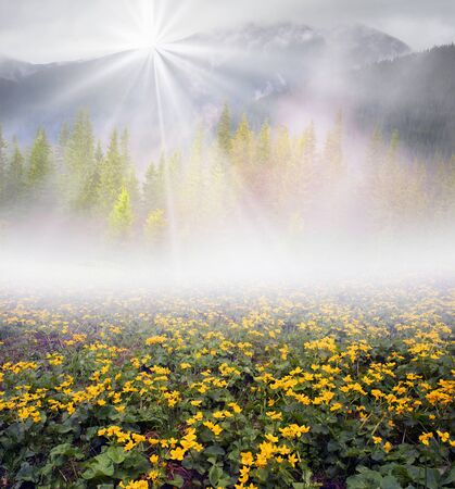 swamps: Field with blooming kalyuzhnitsa before the storm in the Carpathians, Ukraine. These flowers grow like the swamps, near streams, in spruce forests and very beautiful at dawn Stock Photo