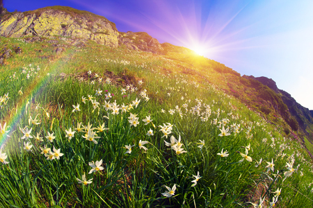 ruta: High in the mountains of the Alps Marmarosh grow rare wild daffodils, when the snow melts and becomes teplee- in June. Near a lot of stones, moss, and at the same time blooming rhododendrons