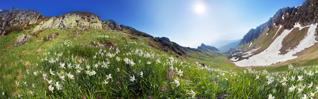 High in the mountains of the Alps Marmarosh grow rare wild daffodils, when the snow melts and becomes teplee- in June. Near a lot of stones, moss, and at the same time blooming rhododendrons