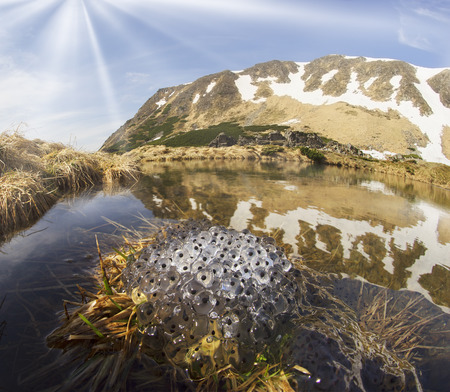 croak: In the Ukrainian Carpathians among alpine meadows at a high altitude lake Berbeneskul Montenegro is located where the end of May the snow melts and frogs toads breed in the icy cold water
