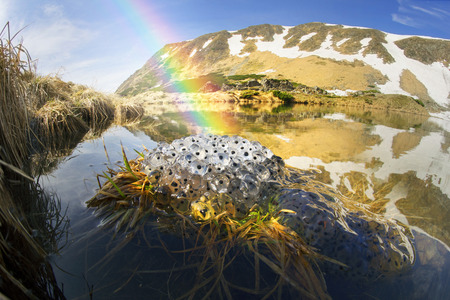 spawn: In the Ukrainian Carpathians among alpine meadows at a high altitude lake Berbeneskul Montenegro is located where the end of May the snow melts and frogs toads breed in the icy cold water