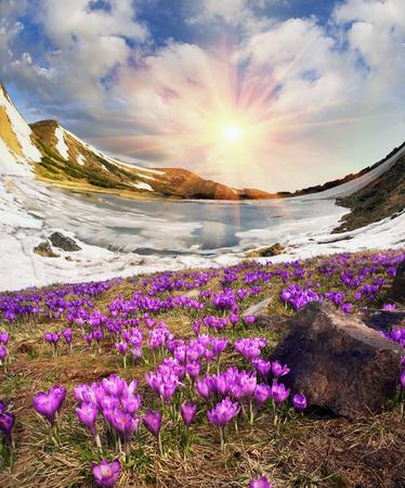 Nei Carpazi ucraini tra i prati alpini in un lago d'alta quota Nesamovyte Montenegro si trova dove la fine di maggio la neve si scioglie e cresce un sacco di belle croco delicato