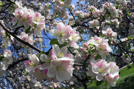 naturaleza: Flowering shrub decorative apple tree with petals and a delicate aroma - a symbol of a new crop of spring victory vitality of nature clean environment of the Earth the farmer joy