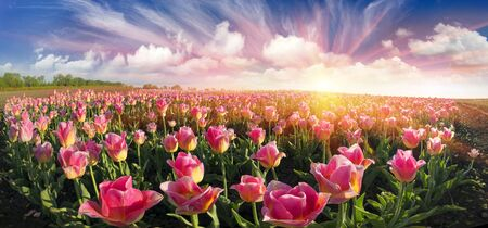 Field with tulips Ukrainian farmer with the famous Dutch and European varieties of tulips beautiful attracts tourists. Sale of bulbs on the landing - a good business for the entrepreneur Stock Photo
