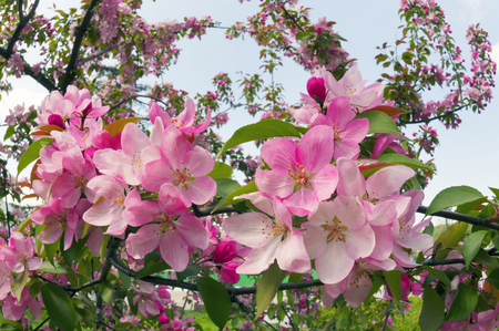 Flowering shrub ornamental tree with sakura petals and a delicate aroma - a symbol of a new crop of spring victory vitality of nature clean environment the farmer gardener joy Earth Stock Photo