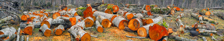 Fresh sawn trunks of alder in the spring in the Ukrainian Carpathians for heating or smoked meat .. Fresh cut logs scenic beautiful colored bright orange or red, amid alder bushes by the river.