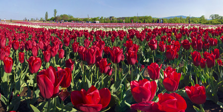 bulb fields: Ukraine, Chernivtsi, April 6, 2015: The field in the village Mamaivtsi, with Dutch varieties tyulpanov- one of the first in Ukraine has become landmark in the region, growing beautiful flowers