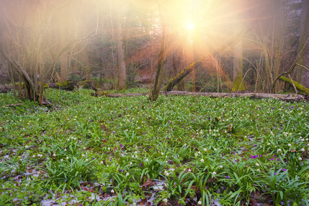 Spring rare flowers beautiful snowdrop bloom in March in alpine coniferous and deciduous forests on the background of wild creeks swamps lakes Carpathian Transcarpathian Ukraine after the snow melts