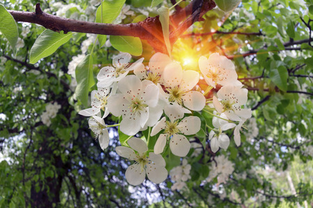 naturaleza: Flowering shrub decorative Pear tree with petals and a delicate aroma - a symbol of a new crop of spring victory vitality of nature clean environment of the Earth the farmer joy