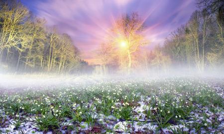 Snowdrops - サクラソウ、雪がある場合や降雪中に森の中で、春先早く発芽します。繊細な花の霜と一段と寒さがひどい、日の出、光線での生活に来る 写真素材