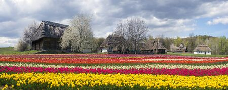 Tulips on the background of the village, where a rich collection of ancient huts, houses, outbuildings including an abundance of beautiful vibrant gardens of fruit trees and flowers
