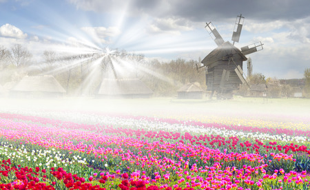 Tulips on the background of the village, where a rich collection of ancient wooden windmills, houses, outbuildings including an abundance of beautiful gardens and bright colors