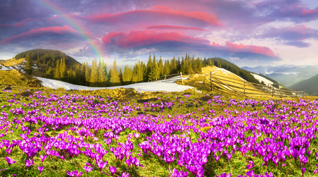 Ucraina, selvagge montagne montenegrine sullo sfondo di alpeggio pecore in primavera in marzo, ricoperte da uno spesso tappeto di lussureggianti fantasticamente bellissimi fiori pervotsvetov- crocus, lo zafferano