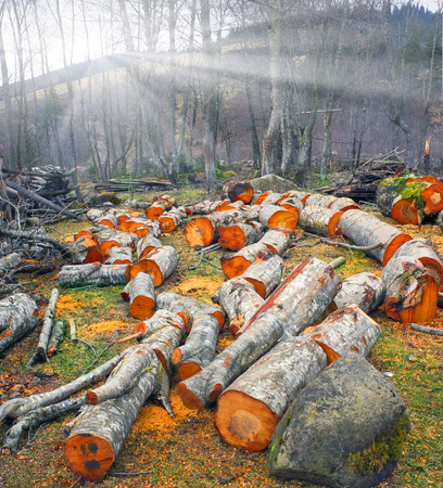 sawn: Fresh sawn trunks of alder in the spring in the Ukrainian Carpathians for heating or smoked meat .. Fresh cut logs scenic beautiful colored bright orange or red, amid alder bushes by the river.