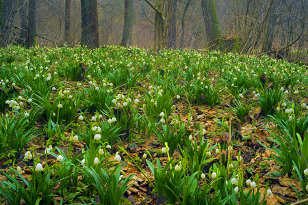 In the spring the snow melts there are first rare beautiful flowers primroses snowdrops near swamps streams in the lowlands in the shade of trees bushes. graceful bells primroses. Stock Photo