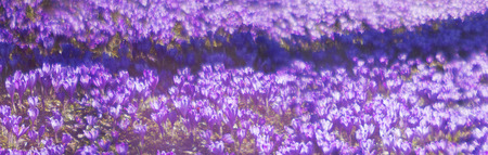 Spring, alpine villages and mountain meadows bloom beautiful carpet fantastic fabulous flowers - crocus, shafrany.Oni born immediately after the snow in March and April and delight people look for their beauty Stock Photo