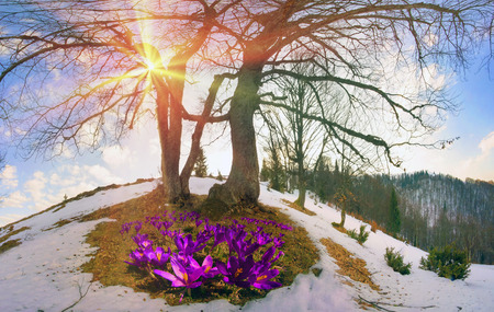 Saffron Geyfelya- first spring flowers that bloom right after melting of snow and ice in alpine fields Carpathians and the Tatra Mountains on the background of old beech and spruce forests of Ukraine. Stock Photo