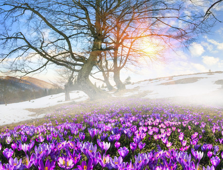 Saffron geyfelya first spring flowers that bloom right after saffron geyfelya first spring flowers that bloom right after stock photo picture and royalty free image image 63336020 mightylinksfo