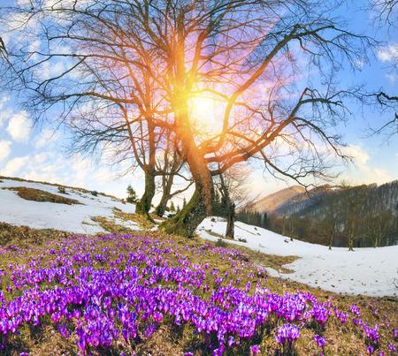 Saffron geyfelya first spring flowers that bloom right after saffron geyfelya first spring flowers that bloom right after melting of snow and ice in mightylinksfo