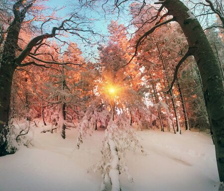 Ukrainian Carpathians snowy forest in the afternoon, and at sunrise and sunset is beautiful and attractive. Slender fir and lush beech shackled by frost and rime, the suns rays create beauty