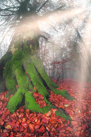 Am frühen Morgen im Wald nach einem schweren Sturm und regen. Wald Nebelscheinwerfer, Gold und Silber Strahlen der Sonne beleuchten die alten Stämme von Buchen- und Tannenbäume, landschaftlich schöne Farben Herbst Standard-Bild