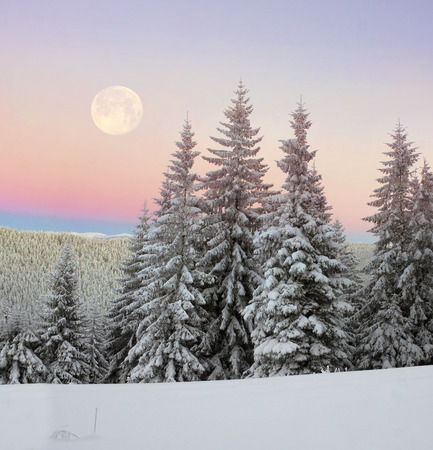 shackled: Ukrainian Carpathians snowy forest in the afternoon, and at sunrise and sunset is beautiful and attractive. Slender fir and lush beech shackled by frost and rime, the suns rays create beauty
