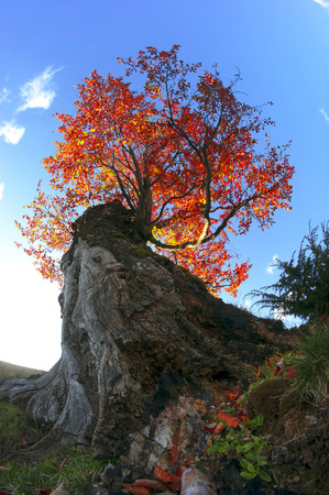 darken: Carpathian Beech in autumn colors of red gold, in the wild forests and fields are the ancient giants, amid the Alpine scenery in anticipation of cold weather. Beautiful paint soon darken.