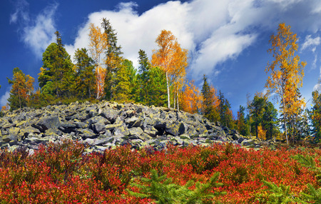 blueberry bushes: In the high mountains, among the wild forest golden autumn on the stone placers in the sunlight shining yellow and red leaves, blueberries and blueberry bushes, spruce green and white clouds