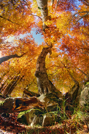 Autumn in the forest and Transcarpathia Prikarpattya osen- alpine comes with glowing colors of the leaves, the rays of the sun at sunrise and sunset, beautiful silhouette trunks