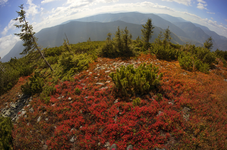 unusually: highland vegetation modest summer and unusually beautiful colors blooms in autumn, before cold weather. Blueberries, huckleberry- bright red, coniferous forest green, orange buk- mountains sinie- fantastic charm. Stock Photo