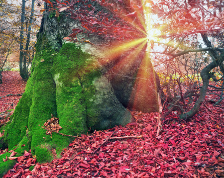intertwined: High in the mountains of the Carpathians and the Hutsul located tract with ancient forest, where the ancient Nephilim giants meet in the wild forest autumn, green mosses intertwined with red golden foliage