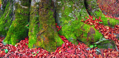 mosses: High in the mountains of the Carpathians and the Hutsul located tract with ancient forest, where the ancient  giants meet in the wild forest autumn, green mosses intertwined with red golden foliage