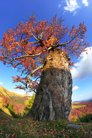 Carpathian Beech in autumn colors of red gold, in the wild forests and fields are the ancient giants, amid the Alpine scenery in anticipation of cold weather. Beautiful paint soon darken.