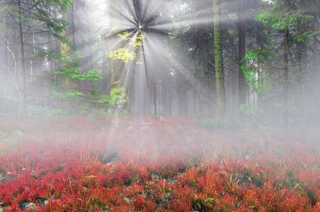 painterly: Blueberry in the autumn misty forest after the rain during the dawn in the mist and haze - it is very beautiful. The alpine forests of nature is very bright colors and painterly fantastic