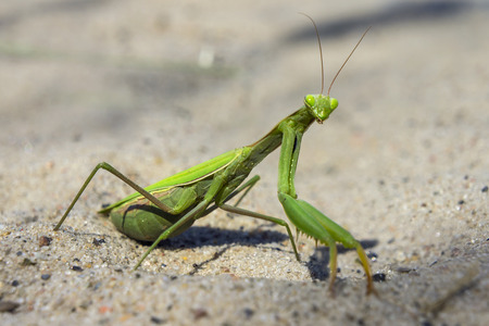 european mantis: Mantis religiosa, referred to as the European mantis outside of Europe and known simply as the praying mantis in Europe and elsewhere, is one of the most well-known. Surprise and interest, curiosity