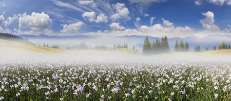 the background of mountains and river valleys in the spring grow beautiful wild flowers- daffodils.