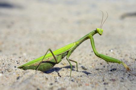 religiosa: Mantis religiosa, the praying mantis Stock Photo