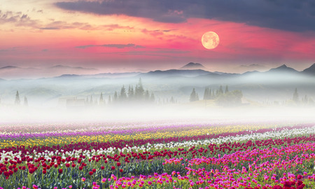 bulb fields: Field of tulips of different breeds on the backdrop of scenic wilderness